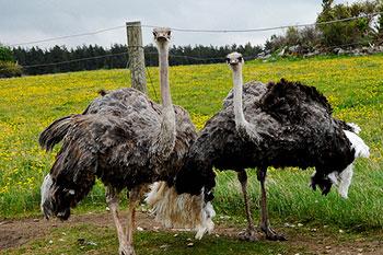 Muhu Ostrich Farm in Estonia